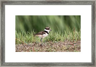Killdeer - 24 Hours Old Framed Print