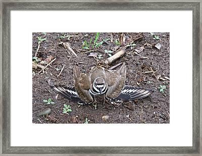 Killdeer 3076 Framed Print