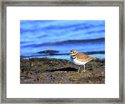 Killdeer . 40d4101 Framed Print