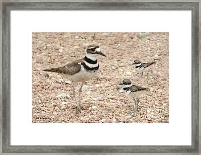 Killdeer And Chicks Framed Print