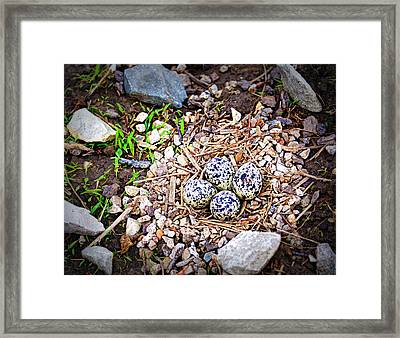 Killdeer Nest Framed Print by Cricket Hackmann