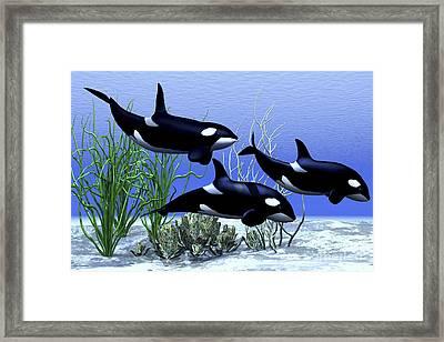Killer Whales Hunt Together Framed Print by Corey Ford