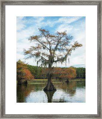 King Cypress Framed Print
