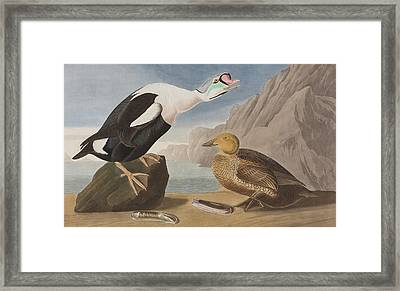 King Duck Framed Print by John James Audubon