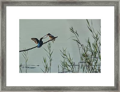 King Fishers  Framed Print