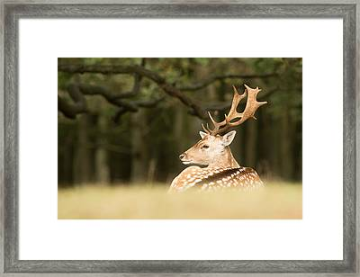 King Of The Forest _ Fallow Deer Buck Framed Print