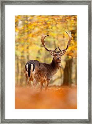 King Of The Forest II _ Fallow Deer Buck Framed Print by Roeselien Raimond