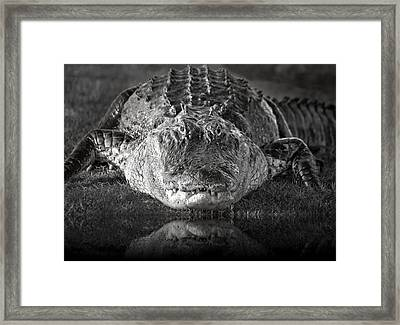 King Of The Glades Framed Print by Mark Andrew Thomas