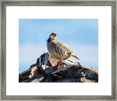 King Of The Hill - Chukar Partridge Framed Print