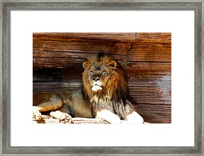 King Of The Jungle Framed Print by Linda Brown
