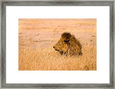 King Of The Pride Framed Print by Adam Romanowicz