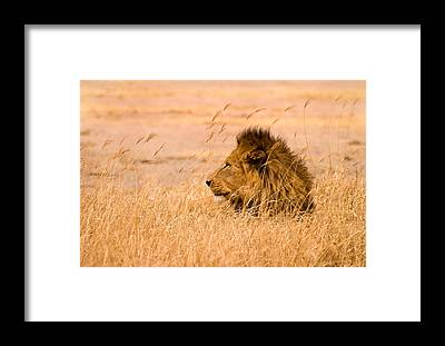 Panthera Framed Prints