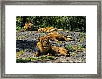 King Of The Pride Framed Print by Karol Livote
