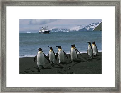 King Penguins And Cruise Ship Lindblad Framed Print