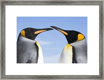 King Penguins  Aptenodytes Patagonicus Framed Print
