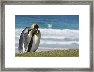 King Penguins Courting  Aptenodytes Framed Print by Daisy Gilardini