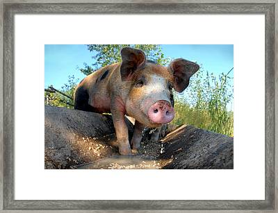 King Porcus Of The Barking Dog Ranch Framed Print