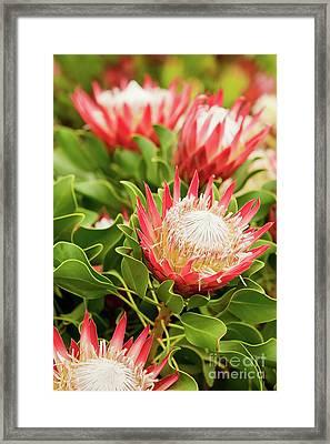 King Protea Flowers Framed Print