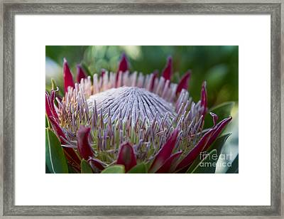 King Protea Island Flowers Jewel Of The Garden Framed Print by Sharon Mau