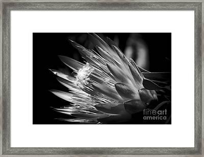 King Protea - Protea Cynaroides - Maui Tropicals Hawaii Framed Print by Sharon Mau