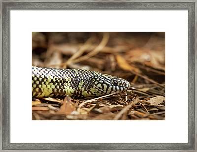 King Snake 1 Framed Print