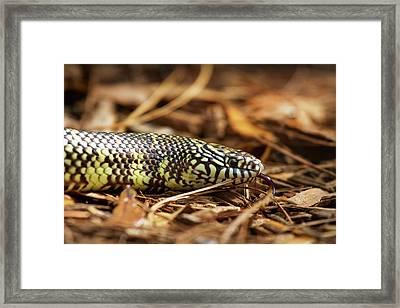 King Snake 2 Framed Print