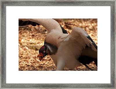 King Vulture 1 Framed Print by Chris Flees
