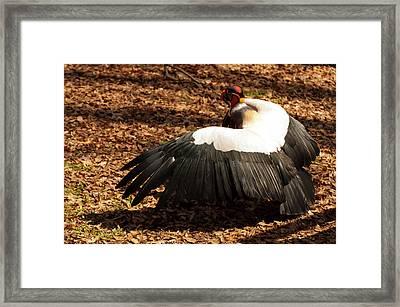 King Vulture 2 Strutting Framed Print by Chris Flees