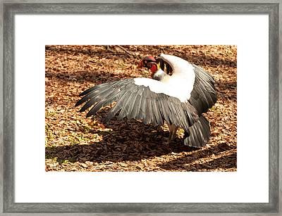 King Vulture 3 Strutting Framed Print by Chris Flees