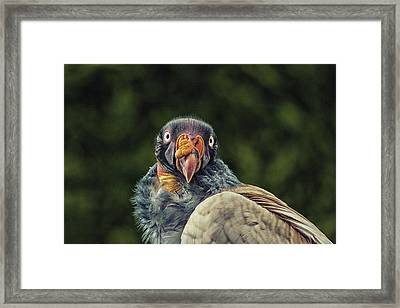 King Vulture Framed Print by Martin Newman