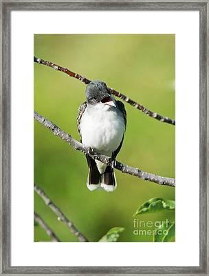 Kingbird Chatter Framed Print