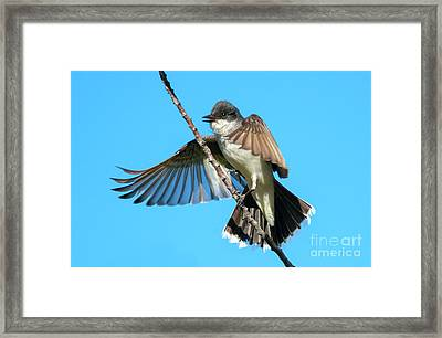 Kingbird Landing Framed Print by Mike Dawson