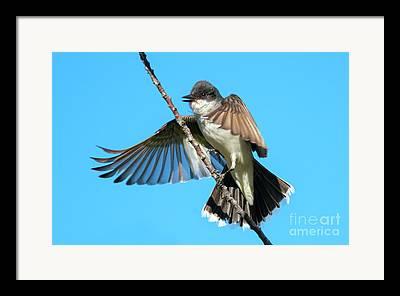 Eastern Kingbird Framed Prints