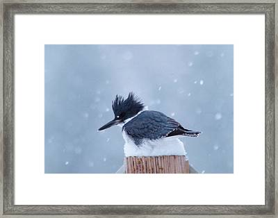Kingfisher In Snowfall Framed Print by Jeff Swan