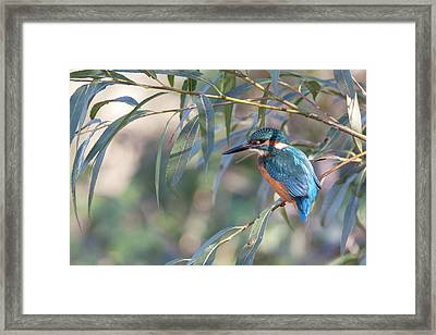 Kingfisher In Willow Framed Print