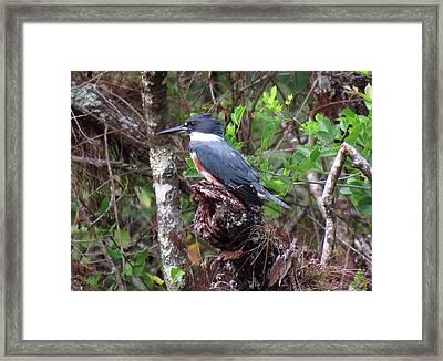 Kingfisher Natural Background Framed Print by Rosalie Scanlon