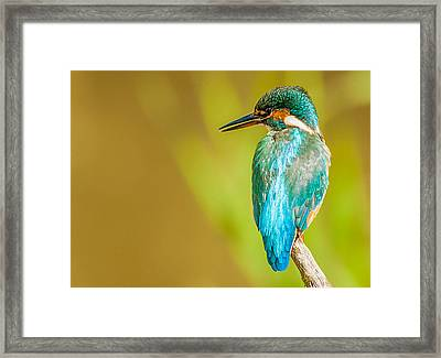 Kingfisher Framed Print by Paul Neville