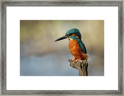 Kingfisher Perched On Dead Tree Framed Print