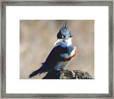 Kingfisher Framed Print by W Gilroy