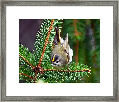 Kinglet In The Pine II Framed Print by CR  Courson