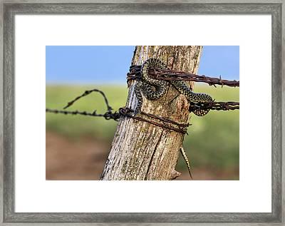 Kingsnake On The Kansas Plains Framed Print by JC Findley