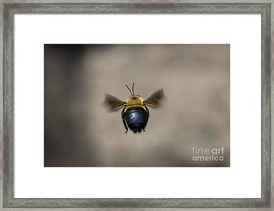 Kiss My Beehind  Framed Print by Andrea Silies