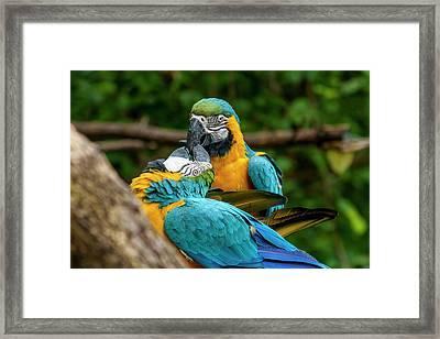 Kissing Parots Framed Print