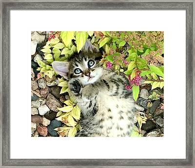 Kitten Dreams Framed Print by Kathy M Krause