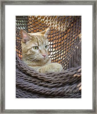 Kitten In A  Hammock Framed Print