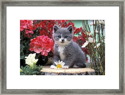 Kitten Playing With Flower Framed Print