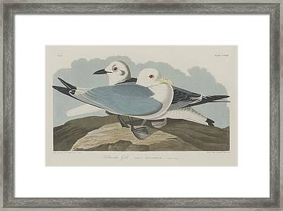 Kittiwake Gull Framed Print by Rob Dreyer