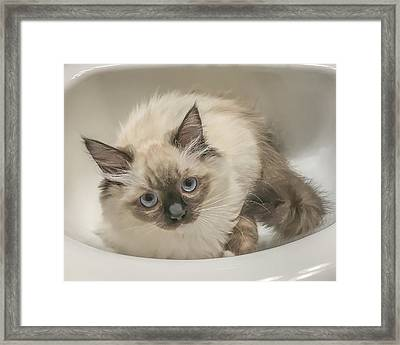 Kitty Blue Eyes Framed Print