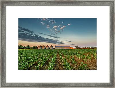 Knee High Sweet Corn Framed Print by Steven Sparks