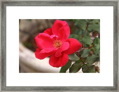 Knockout Red Framed Print by Paul Anderson